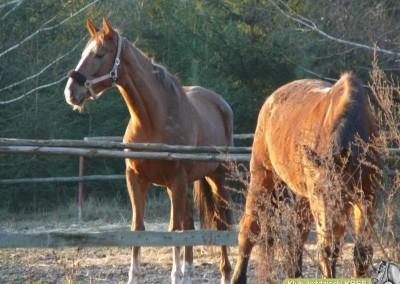 stres konie